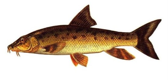 Bıyıklı Balık
