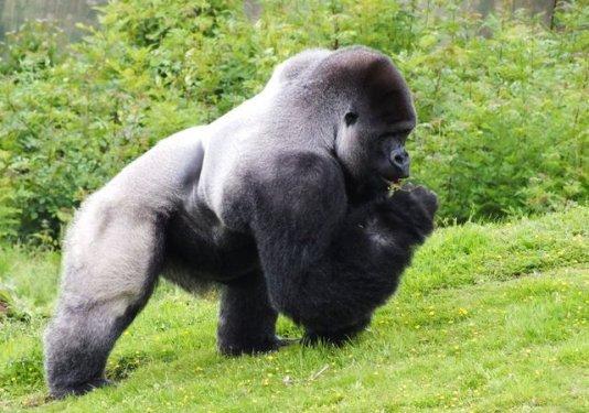 Gümüş Sırtlı Goriller