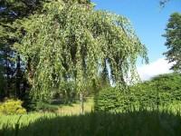 Huş Ağacı Nedir?